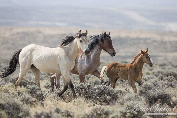 Save Wyoming's Mustangs - Take Easy Action Today! Let us stand and protect our Wild Horses from slaughter.