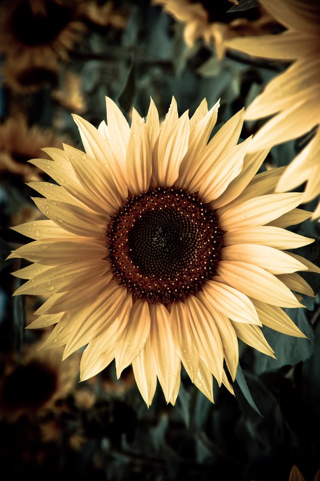 204 best SLUNEČNICE - Sunflower images on Pinterest ...