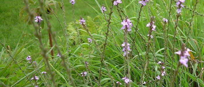 Vasfű (Verbena officinalis) - Természet Patikája Egyesület