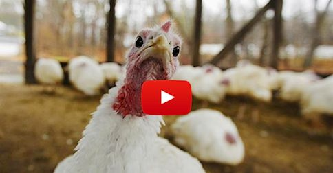 You won't believe what's involved in turkey breeding until you see it. Is this something you feel comfortable supporting?