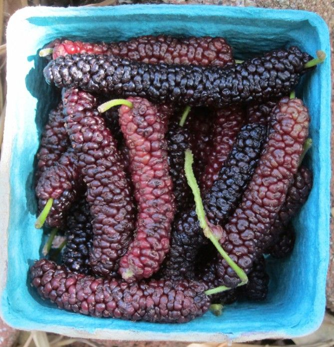 pakistan mulberries