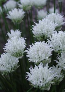 :: Mit Stauden gestalten :: Besondere Blütenfarben :: Reines Weiß - Pflanzenversand Gaissmayer