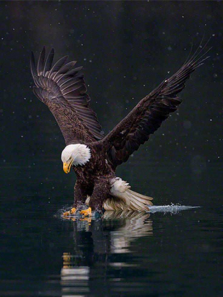 Águila cazando o pescando. Flipboard.