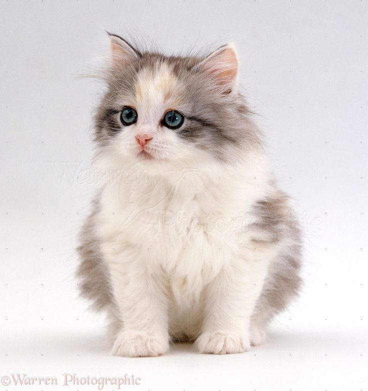 Fluffy Kitten Wallpapers High Definition Free Download