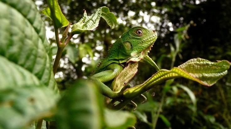 Iguana verde (2008)