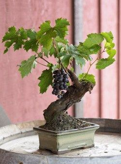 For the wine aficionado in your life, a bonsai wine-grape tree! Isn't it adorable? It might take about 10 years to produce enouve grapes for a mini bottle of wine, lol, but it sure will look adorable on your patio in the meantime. Just like looking over your very own mini vineyard.......