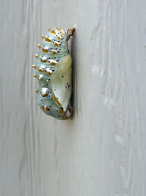 Variegated frittilary butterfly chrysalis