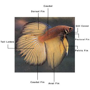 17 best images about bettas on pinterest auction for Characteristics of fish