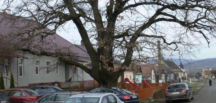 Potrivit inginerilor silvici stejarul din Orheiul Bistriţei are în jur de 700 de ani, fiind cel mai bătrân din Bistriţa-Năsăud
