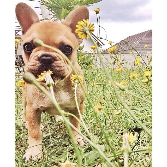 Welcome #throwbackthursday ! Try to find little Cesar  by cesar_frenchie http://ift.tt/1klxBxS