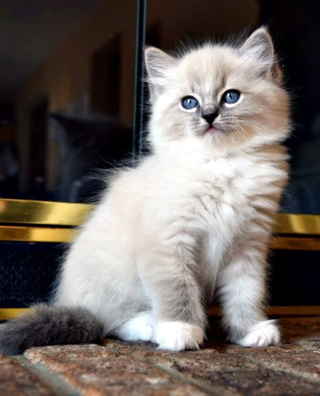 Blue Mitted Ragdoll Kitten Ohemgee Cats Cat Fluffycat Ragdolls Ragdoll Kittens Bluelynx Bluemitt Lynxragdo Ragdoll Kitten Kittens Cutest Cute Animals