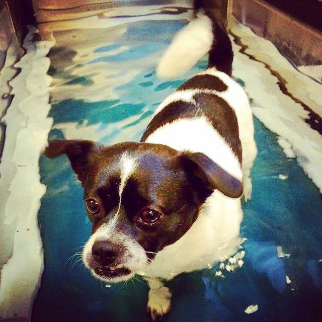 Futte er igang med sin genoptræning i vand, rigtig god bedring futte ønske du af Potebox  #love #dog #dogs #instagood #happy #like #fun #sød #hund #hjælp #glad #genoptræning #cool #nice #look #pote #potebox #water #vand