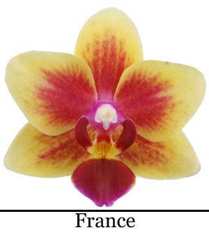 Orchidee Phalaenopsis France