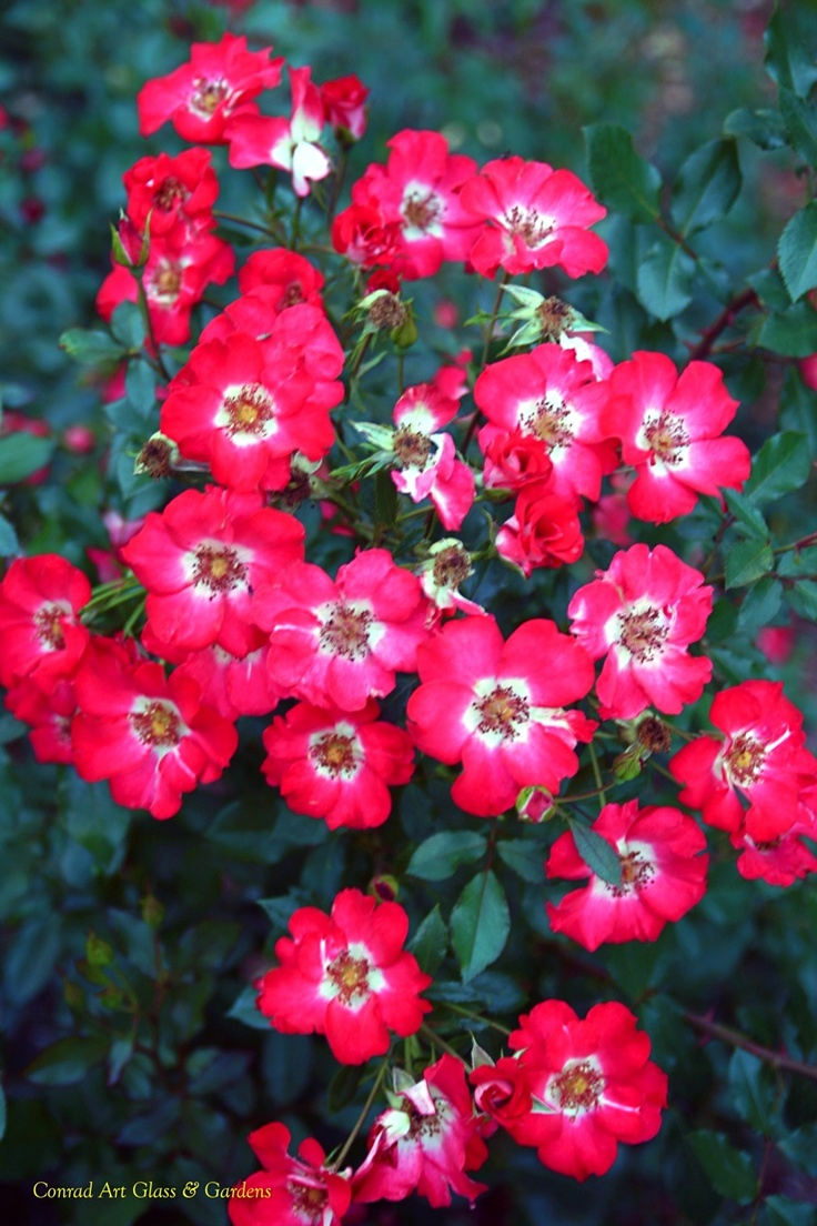 131 Best Images About Quot Shrub Roses Polyanthas Grandifloras