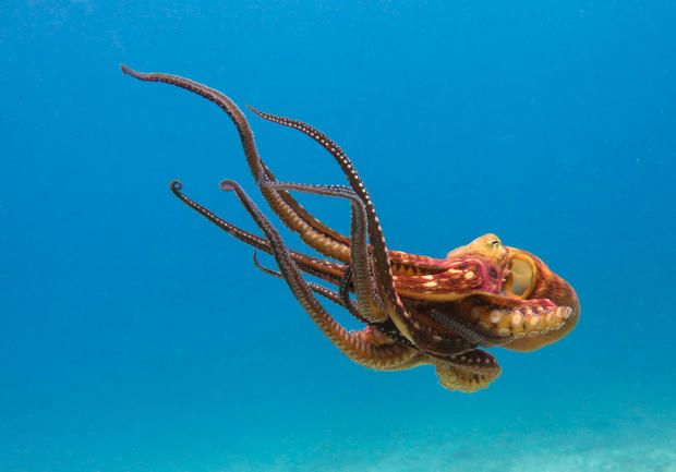 12 Outrageous Facts About Octopuses | Mental Floss