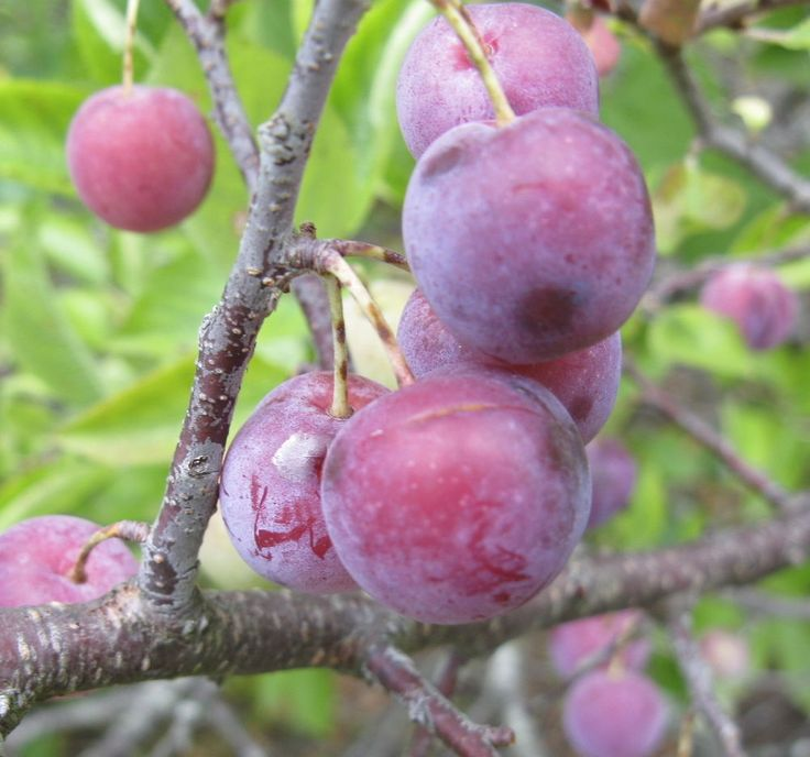 Beach Plum, Prunus maritima, Shrub Seeds (Fast, Edible, Hardy, Showy)