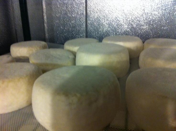 Rocky Elm Bloom cheese rounds from The Wandering Shepherd | Cape Breton Farmers' Market