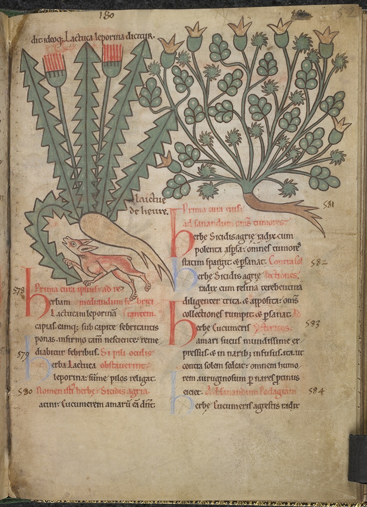 A dandellion illustration in a Dutch book from 1175.