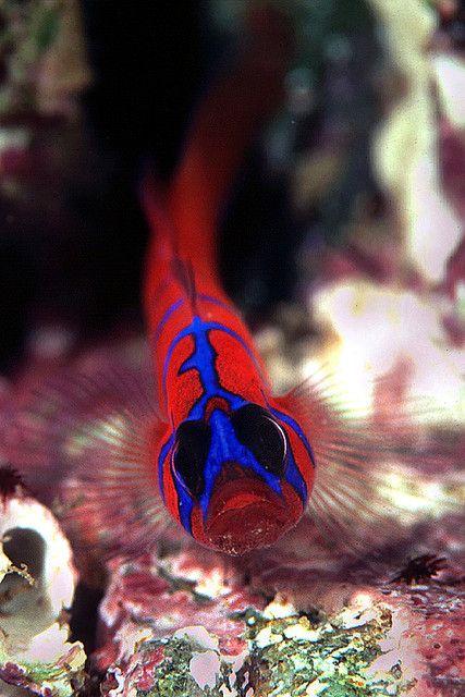 Blue Banded Goby - ©Ken Kasuga (aquanerds) www.flickr.com/photos/aquanerds/8538580/