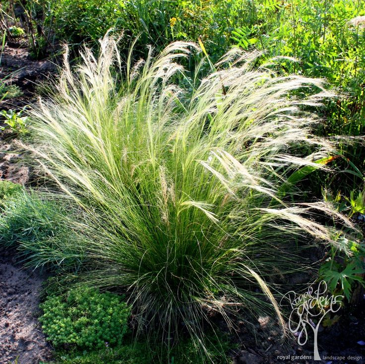 Stipa pennata flausch federgras juni juli 30 60cm for Ornamental feather grass