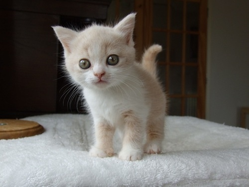 Barley when he was 5 weeks old. He didn't have the awesome orange eyes yet! If you want an awesome cat, check out www.lelaurier.co.uk