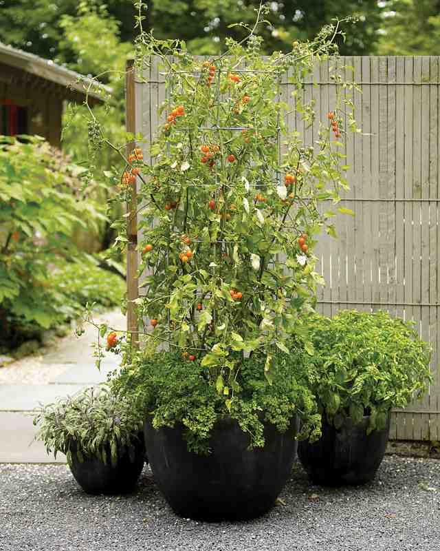 A container filled with ripe tomatoes offers beauty and reward. Fortunately, because tomatoes adapt well to cultivation in containers, this delight is available to almost anyone.