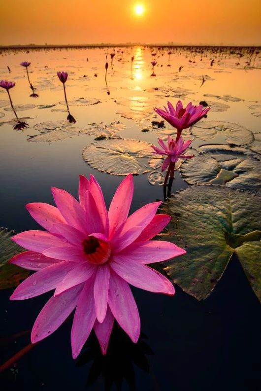 Red lotus flower in water