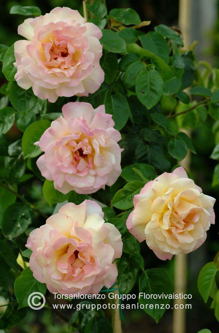 #flower #roses #beautiful