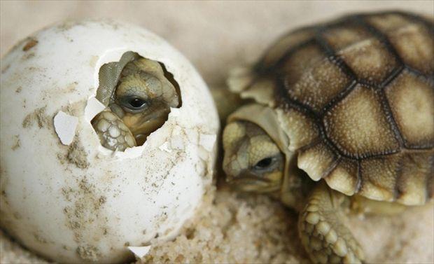 C'è nessuno?  Una rapida occhiata fuori prima di rompere definitivamente il guscio. Per questi cuccioli di tartaruga africana (Geochelone sulcata) comincia una nuova avventura e si conclude il laborioso periodo dell'incubazione. Una faticaccia non tanto per loro, quanto per la madre.