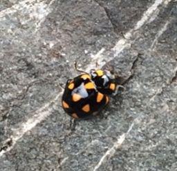 Native orange spotted ladybird - NZ ladybird