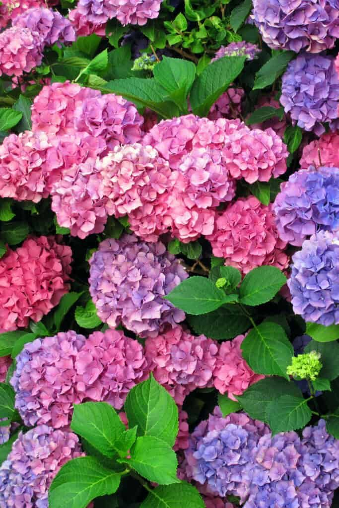 Hydrangea Care And Growing Tips Hydrangea Care Growing Hydrangeas Hydrangea Not Blooming