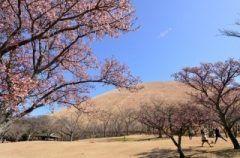 大室山のふもとに40種もの桜が植樹されている静岡県伊東市のさくらの里は私イチオシの花見スポットです ここの桜は9月5月に順次開花するのが特徴なんです ペアリフトで山頂に向かうと海まで一望できますよ(o) tags[静岡県]