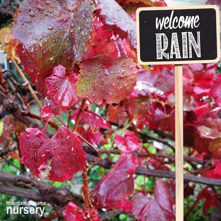 There's something about the way it looks after a rain • fresh and new. LOVE the Autumn colours of the Vitis vinifera {ornamental grape} with RAINDROPS