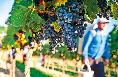 Zweigelt grapes from Neusiedlersee, Austria.