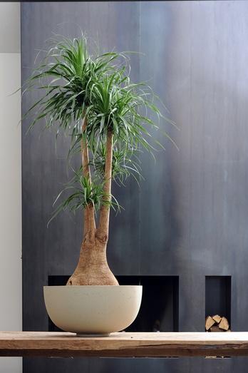 Beaucarnea plant