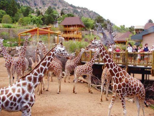 cheyenne mountain zoo ... If u know me at all you know this is a must! What sound does a giraffe make? #Giiiiiirraaaaaaffffffffffffee!!!