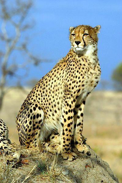Le guépard                                                       …