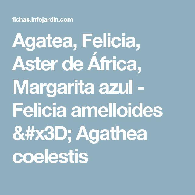 Agatea, Felicia, Aster de África, Margarita azul - Felicia amelloides = Agathea coelestis