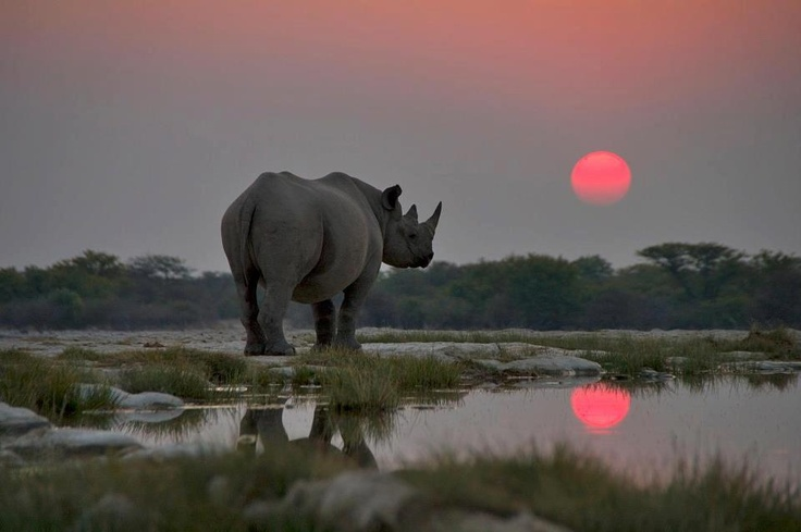 ♥ Black Rhino and beautiful sunset in Etosha National Park  Photographed by Paul Brehem  -Wish/Teach the stupid chinese learn to realize that Rhino horns are like human's hair, NOT the material of so-called chinese traditional damn medicine! — Kelly Okavango with Cha Kame.