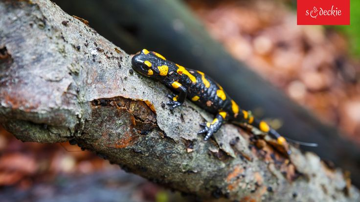 Salamandra plamista, fot. K.Bańkowski