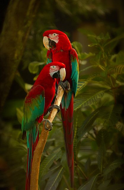 vi-bra-nt:    an-imalss:    Green-winged Macaws by hurgleburgle on Flickr.    Click here for color/nature/culture :D