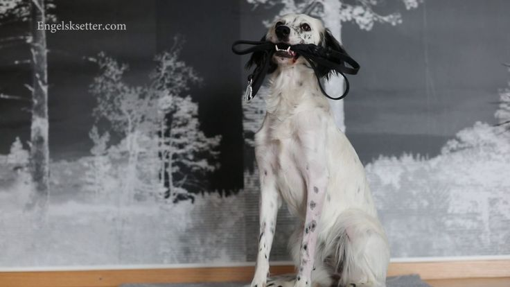 Nikka, can you hold this for me? --------------- Dog training with English setter Nikka