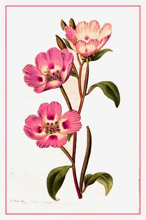 Flor-de-cetim – Clarkia amoena  A flor-de-setim é uma planta florífera, de textura herbácea, nativa de colinas costeiras e montanhas do oeste da América do Norte.  http://sergiozeiger.tumblr.com/…/flor-de-cetim-clarkia-amoe…  Ela possui caule ereto ou rasteiro, que pode alcançar de 40 a 100 cm de altura, dependendo da variedade.  Floresce no verão, despontando flores terminais solitárias ou em pequenos grupos.