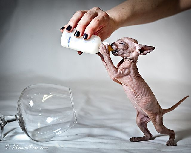 Baby hairless cat drinking from a bottle... how can you hate this? #hairless cat