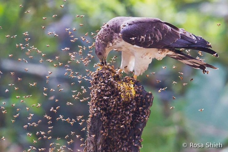 Crested Honey-buzzard (Pernis ptilorhyncus)      The Oriental Honey-Buzzard loves to eat pupae. He is not afraid a lot of bees' attack.
