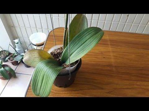 """Orquídeas con """"Oreja de Elefante"""": ¿Qué es y Cómo tratarlas? - YouTube"""