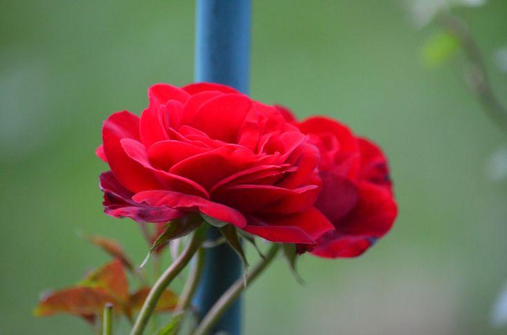 Röd ros, Santana