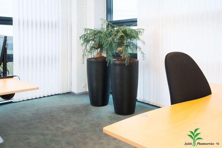 Indretning af mindre kontor. Krukken er: Friend Vase Sort Planten: Araucaria Cunninghamii bonzai