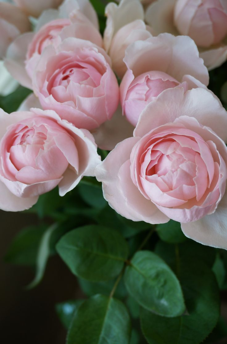 ~rose St.Cecilia