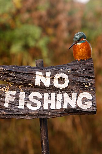 Kingfisher sitting on a no fishing sign .... .....contemplating..